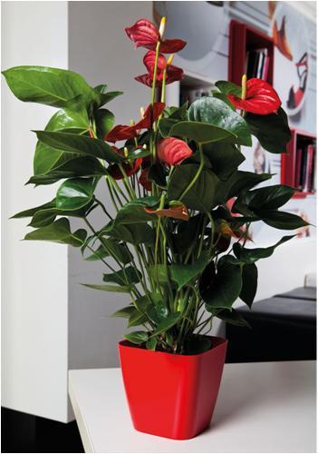Poinsettia Maceta