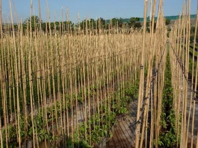 Maceflor - Cultivo del bambu ...